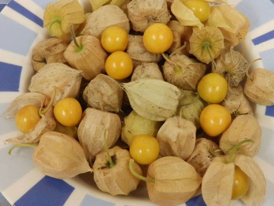 Physalis or Cape Gooseberry